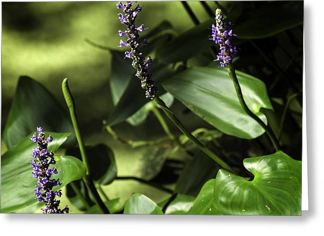 Pickerel Greeting Cards - Pickerel Weed Blooms Greeting Card by Lynn Palmer