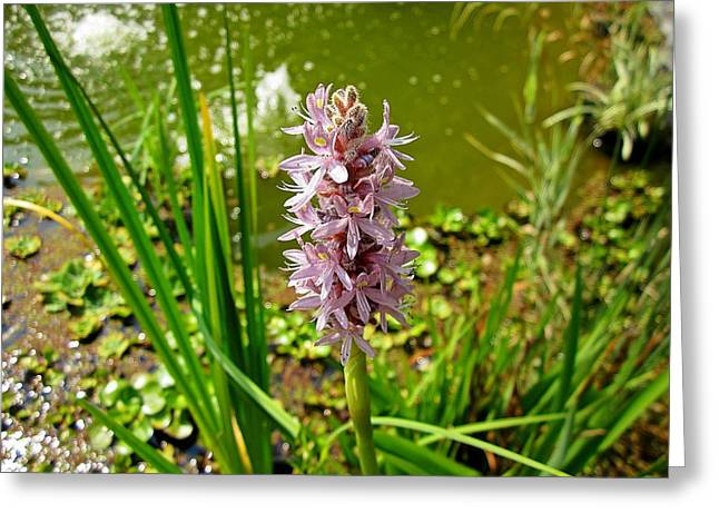 Pickerel Greeting Cards - Pickerel Weed Plant Greeting Card by MTBobbins Photography