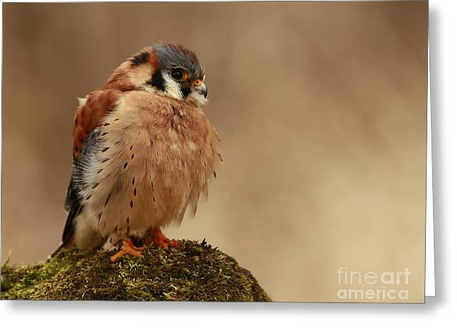 Picture Perfect American Kestrel  Greeting Card by Inspired Nature Photography By Shelley Myke