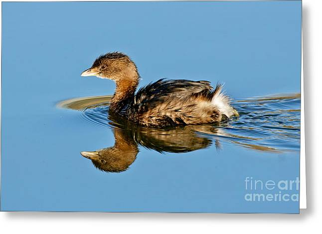 Water Fowl Greeting Cards - Pied-billed Grebe Greeting Card by Anthony Mercieca