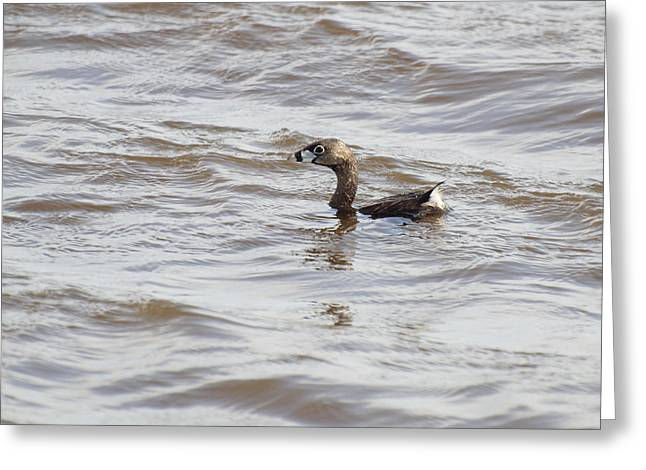 Thomas Young Photography Greeting Cards - Pied-billed Grebe Greeting Card by Thomas Young