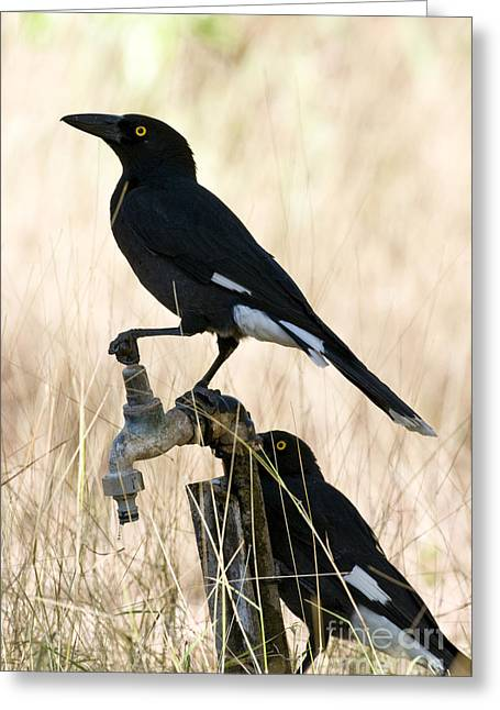 Faucet Greeting Cards - Pied Currawongs Greeting Card by William H. Mullins