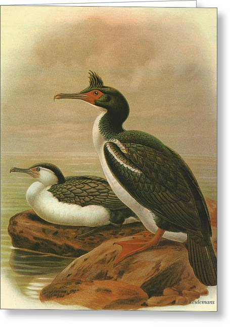 Chatham Greeting Cards - Pied Shag and Chatham Island Shag Greeting Card by J G Keulemans