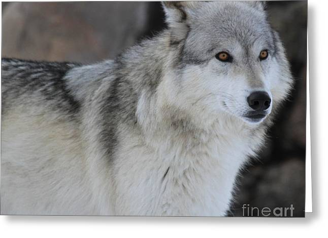 Alpha Wolf Greeting Cards - Piercing Eyes Greeting Card by Adam Jewell