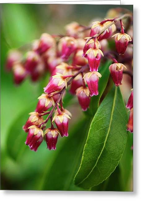 Pieris Japonica 'valley Valentine' Greeting Card by Maria Mosolova