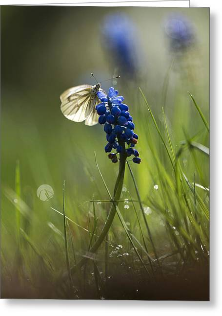 Blue Grapes Greeting Cards - Pieris napi butterfly on a blue flower Greeting Card by Jaroslaw Blaminsky