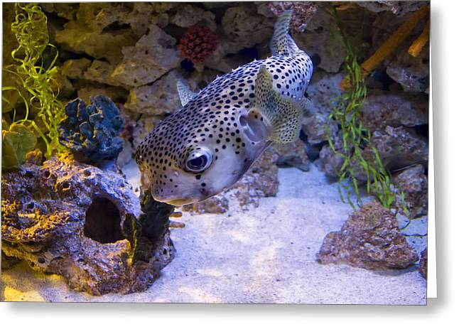 Puffer Greeting Cards - Puffer Fish Swimming Greeting Card by Chris Flees