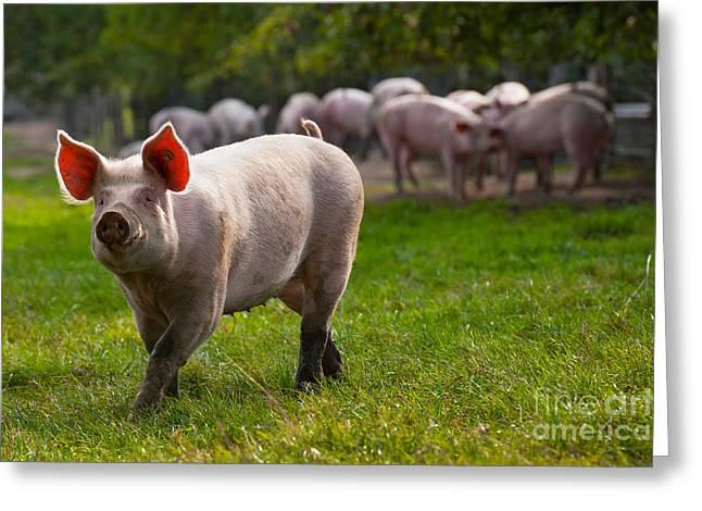Ear Tags Greeting Cards - Pig In Meadow Greeting Card by Robert Wilken
