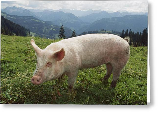 Pig Photos Greeting Cards - Pig On A Grassy Lawn Greeting Card by Konrad Wothe