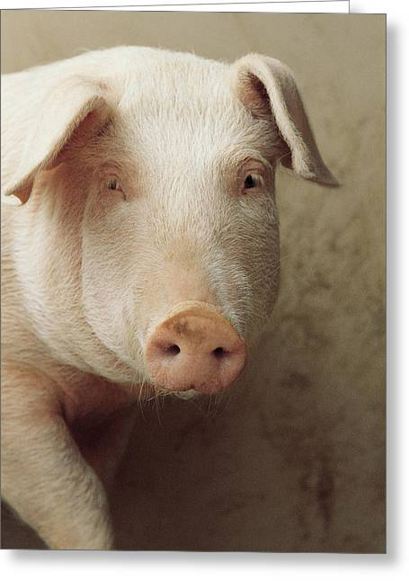 Pig Photos Greeting Cards - Pig Portrait Greeting Card by Isao Enomoto