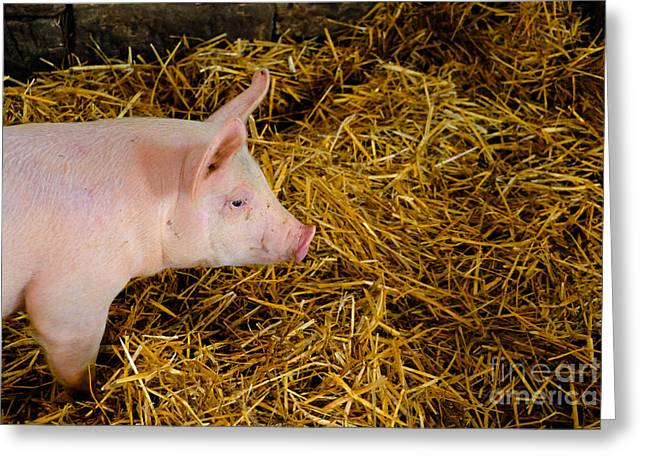 Piglets Greeting Cards - Pig Standing in Hay Greeting Card by Amy Cicconi
