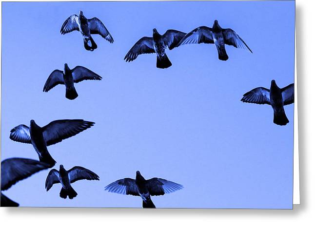Swarm Greeting Cards - Pigeon flying in blue sky Greeting Card by Toppart Sweden