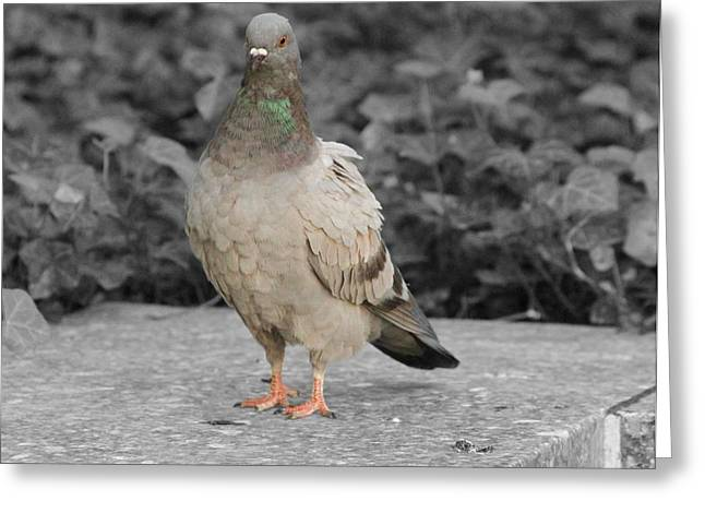 Pigeon In Park Greeting Cards - Pigeon In New York City Greeting Card by Dan Sproul