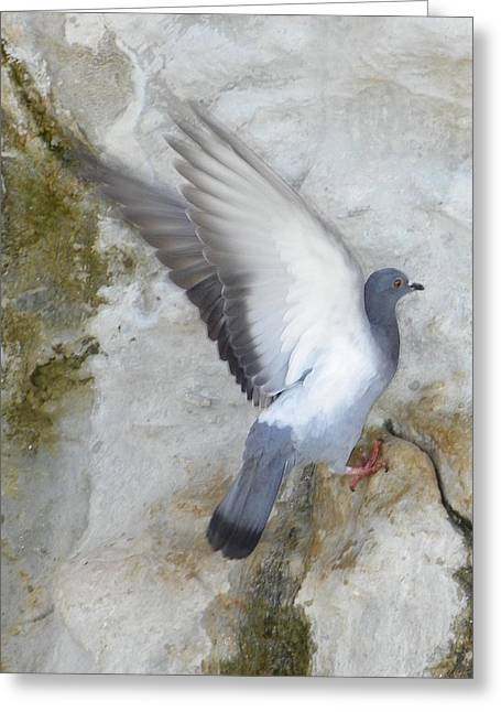Noreen Hacohen Greeting Cards - Pigeon Spreading Wings for Takeoff Greeting Card by Noreen HaCohen