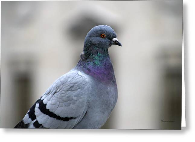 Urban Images Greeting Cards - Pigeon Greeting Card by Thomas Woolworth