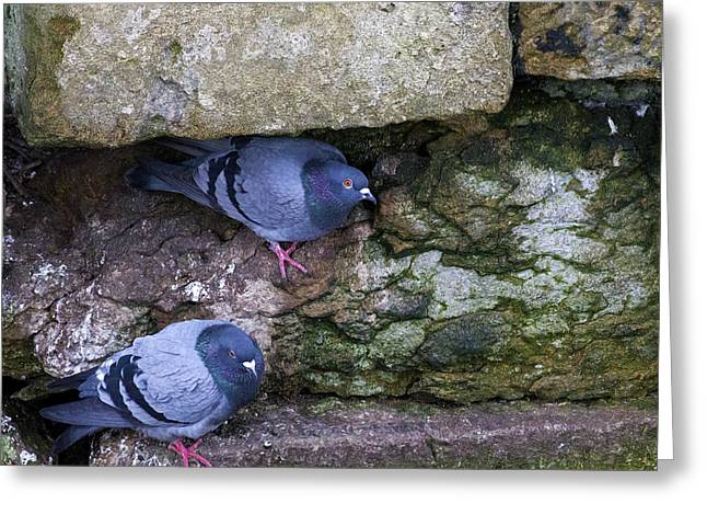 Feral Pigeon Greeting Cards - Pigeons seeking shelter Greeting Card by Jim Jones