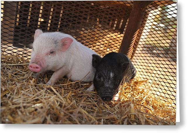 Pig Photos Greeting Cards - Piglets - Pigs - Barynard Animals and Petting Zoos Greeting Card by Matt Plyler