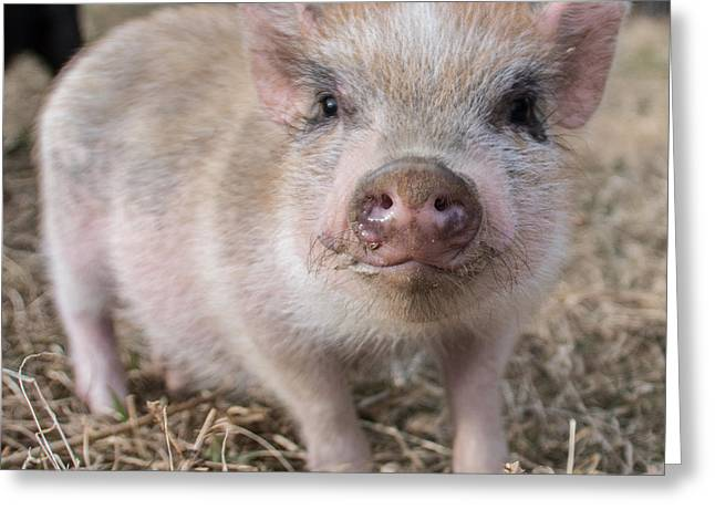 Piglets Greeting Cards - Piglet Greeting Card by Molly Grabill