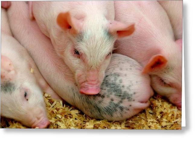 Piglets Greeting Cards - Piglets Greeting Card by Diana Angstadt