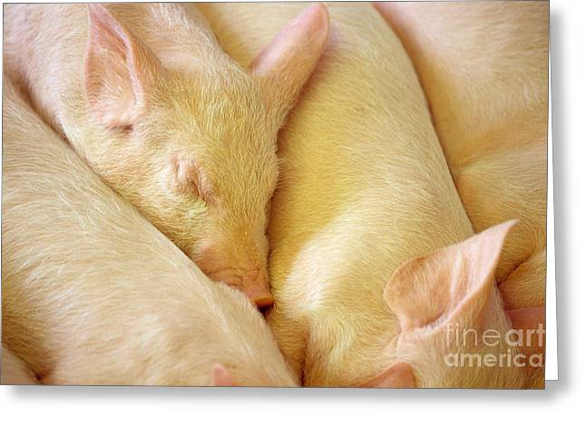 Piglets Greeting Cards - Piglets Greeting Card by Jim Corwin