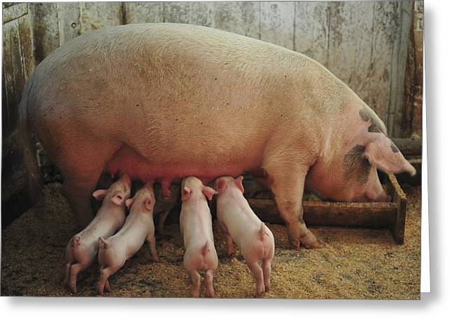 Piglets Greeting Cards - Momma Pig and Piglets Greeting Card by Terry DeLuco