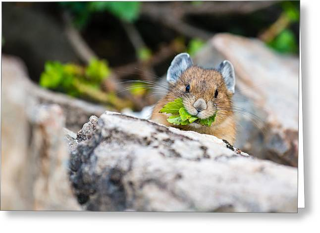 Moraine Greeting Cards - Pika Greeting Card by Ian Stotesbury