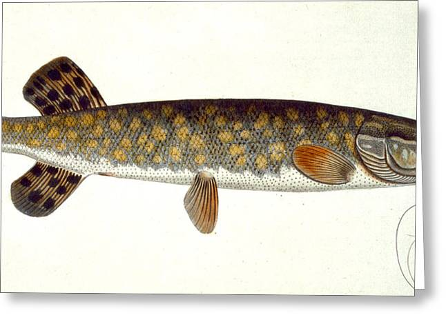 Biology Drawings Greeting Cards - Pike Greeting Card by Andreas Ludwig Kruger
