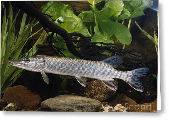 Northern Pike Greeting Cards - Pike Esox Lucius Greeting Card by Tierbild Okapia