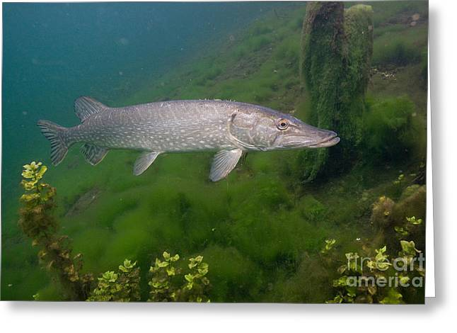 Northern Pike Greeting Cards - Pike In Lake Greeting Card by Wolfgang Herath