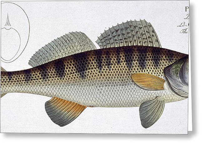 Angling Drawings Greeting Cards - Pike Perch Greeting Card by Andreas Ludwig Kruger
