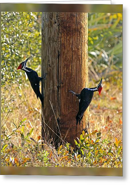 Pairs Greeting Cards - Pileated Pair Greeting Card by Dawn Currie