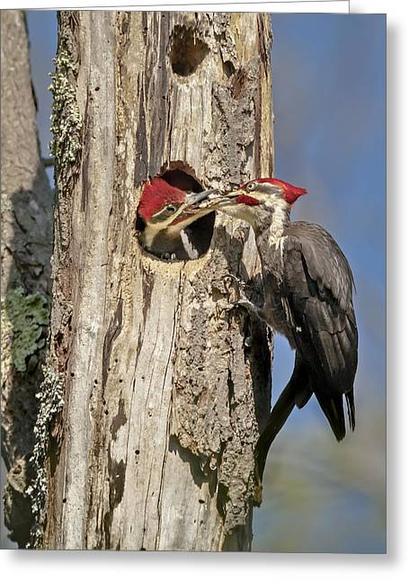 Pileated Greeting Cards - Pileated Woodpecker and Chick Greeting Card by Susan Candelario
