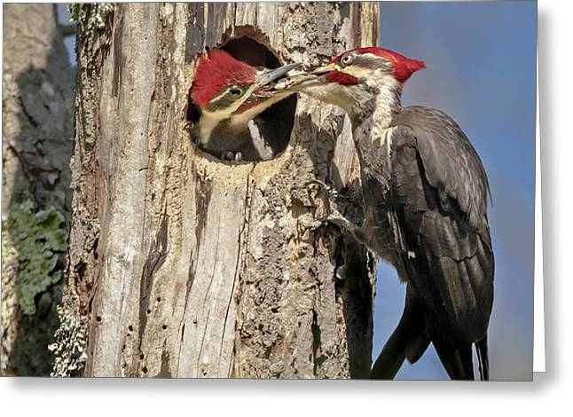 Pileated Woodpecker and Chick Greeting Card by Susan Candelario