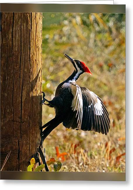 Pairs Greeting Cards - Pileated Woodpecker Greeting Card by Dawn Currie