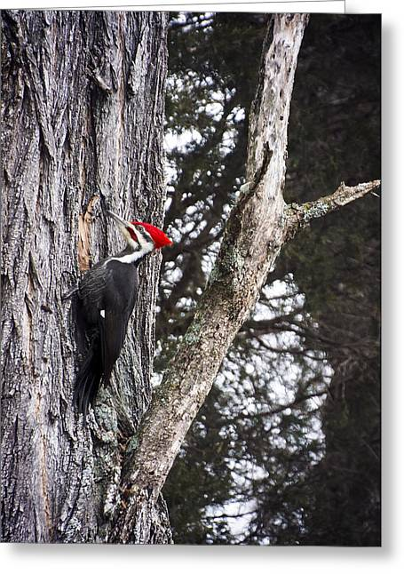 Pileated Woodpeckers Greeting Cards - Pileated Woodpecker  Greeting Card by Heather Applegate