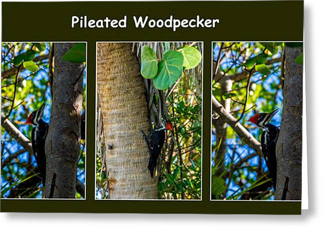 J N Ding Darling National Wildlife Refuge Greeting Cards - Pileated Woodpecker Greeting Card by Nancy L Marshall