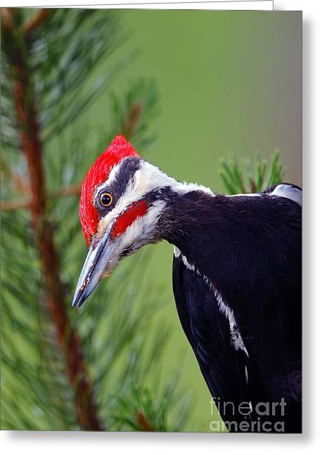 Male Pyrography Greeting Cards - Pileated Woodpecker Greeting Card by Randy Beacham