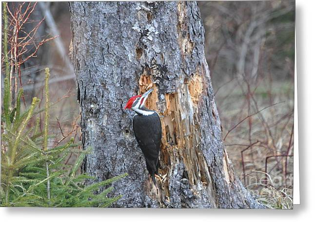 Head Pyrography Greeting Cards - Pileated Woodpecker  Greeting Card by Sally Rice