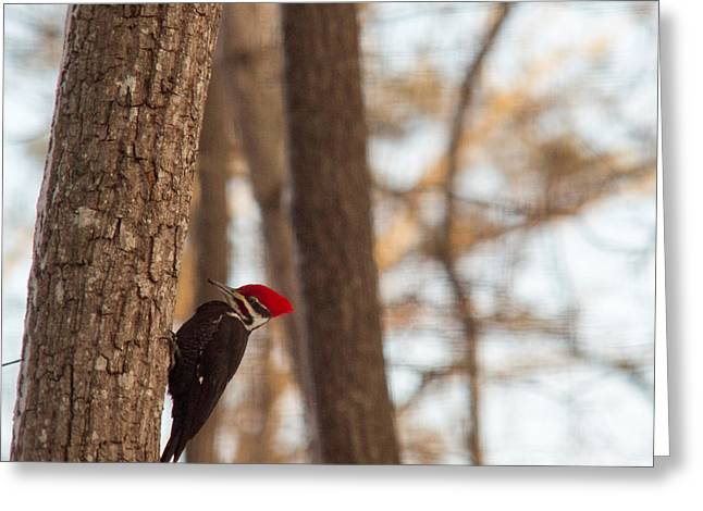 Pileated Greeting Cards - Pileated Woodpecker Searching for Food Greeting Card by Douglas Barnett