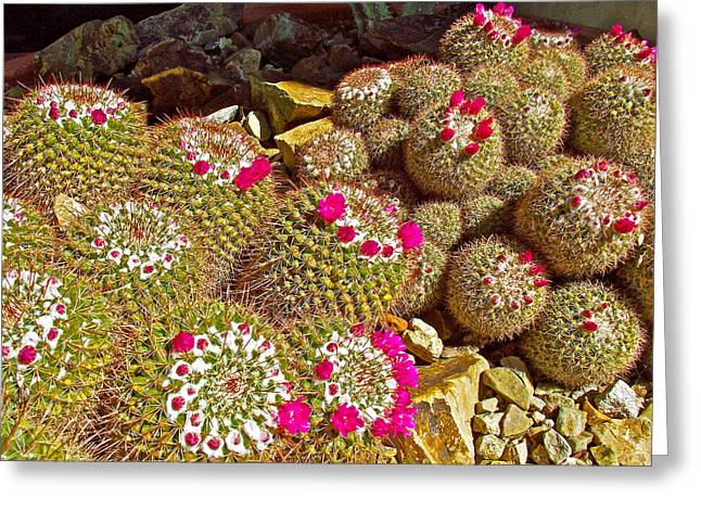 Natchez Trace Parkway Digital Greeting Cards - Pincushion Cactus in Tucson Desert Museum-Arizona Greeting Card by Ruth Hager