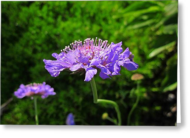 Butterfly Blue Pincushion Flower Greeting Cards - Pincushion Flowers Greeting Card by MTBobbins Photography