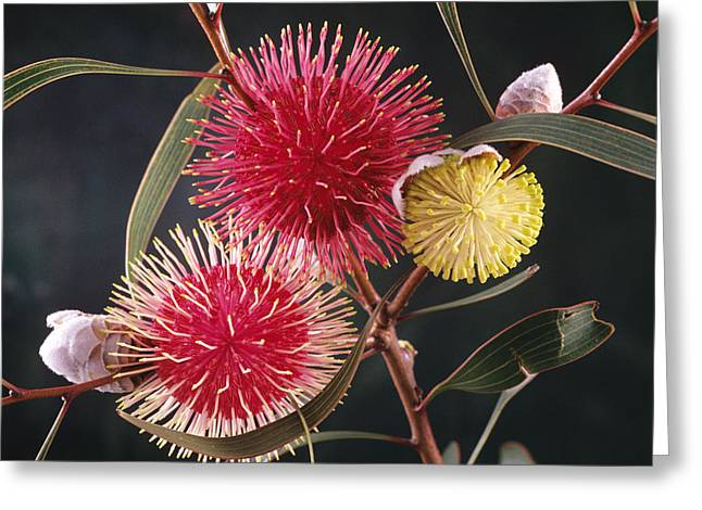Proteaceae Greeting Cards - Pincushion Hakea Flowers Greeting Card by D. & E. Parer-Cook