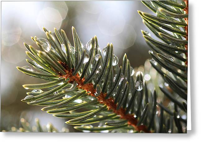 Star Burst Prints Greeting Cards - Pine Bough Dewdrops Greeting Card by John McArthur