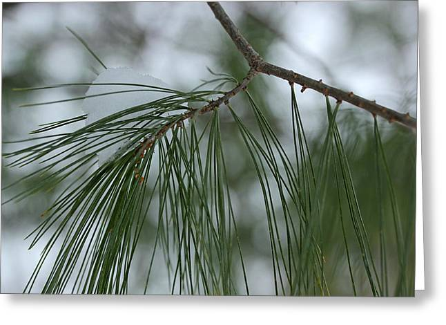 Evergreen With Snow Greeting Cards - Pine Branch with Snow 1 Greeting Card by Mary Bedy