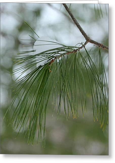 Evergreen With Snow Greeting Cards - Pine Branch with Snow 2 Greeting Card by Mary Bedy