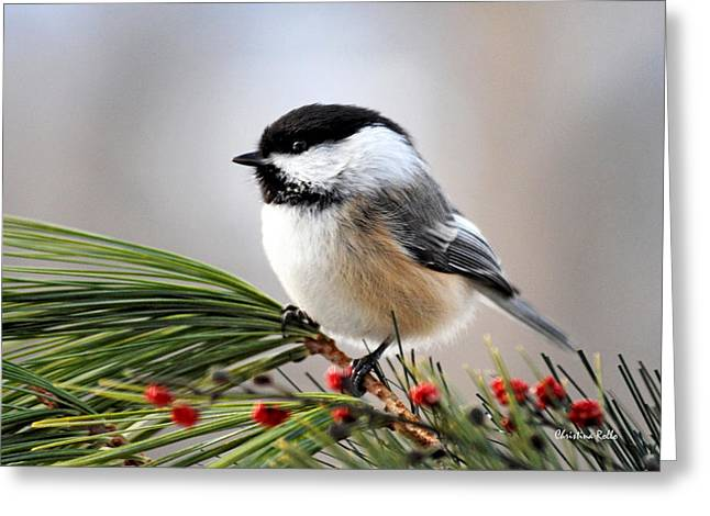 Christmas Art Greeting Cards - Pine Chickadee Greeting Card by Christina Rollo