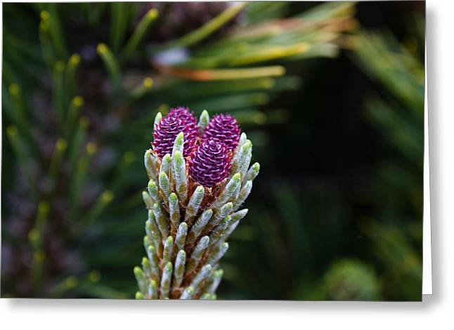 Pine Cones Greeting Cards - Pine Cone Buds Greeting Card by John Daly