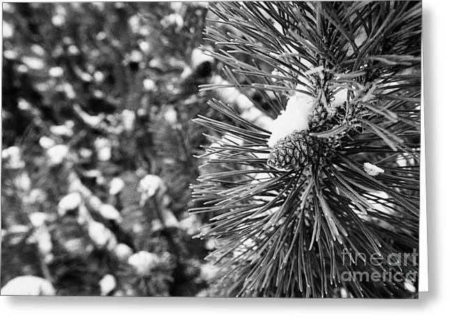 Pine Cones Greeting Cards - pine cones growing on fir trees in the snow Saskatoon Saskatchewan Canada Greeting Card by Joe Fox
