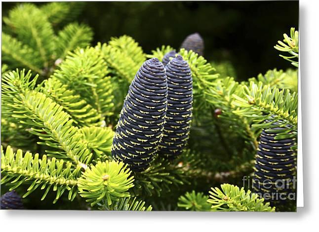 Pine Cones Greeting Cards - Pine Cones Greeting Card by James Brunker