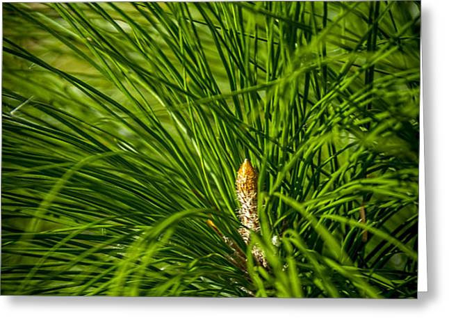 Pine Needles Greeting Card by Marvin Spates